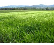 Growers: Wheat Nearing Critical Growth Stage, Time to Scout for Foliar Disease